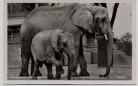AK Foto Zoologischer Garten Berlin Afrikanische Elefanten Lindi und Tempo 1930