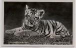 AK Foto Zoologischer Garten Berlin Junger sibirischer Tiger 1930