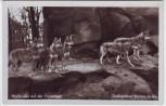 AK Foto Berlin Zoologischer Garten Wolfsrudel auf der Freianlage 1935