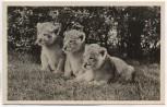 AK Foto Hamburg-Stellingen Carl Hagenbeck's Tierpark Löwenbabys 1950