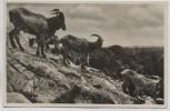 AK Foto Hamburg Altona Stellingen Carl Hagenbeck's Tierpark Hochgebirge Mähnenschafe 1933