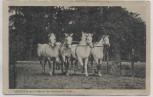 AK Landgestüt Celle Amurath mit 3 Söhnen Pferde 1920